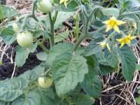 Горчица – ваш верный помощник на огороде