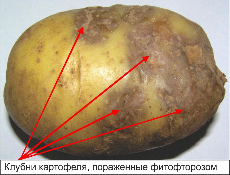 Клубни картофеля, пораженные фитофторозом