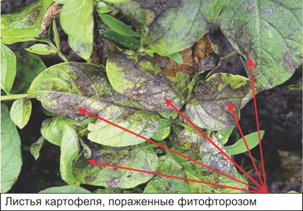 Листья картофеля, пораженные фитофторозом