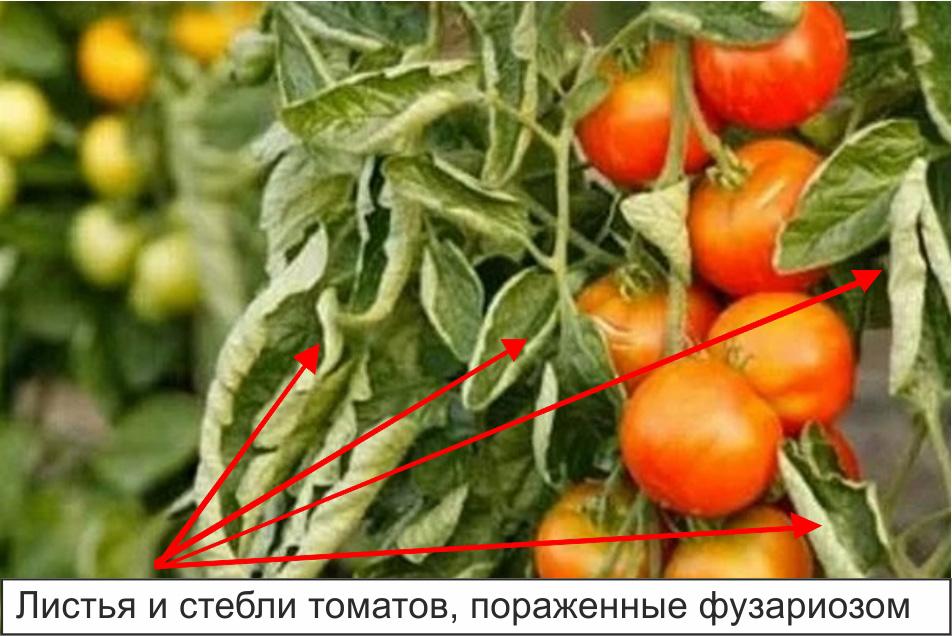 Листья и стебли томатов, пораженные фузариозом