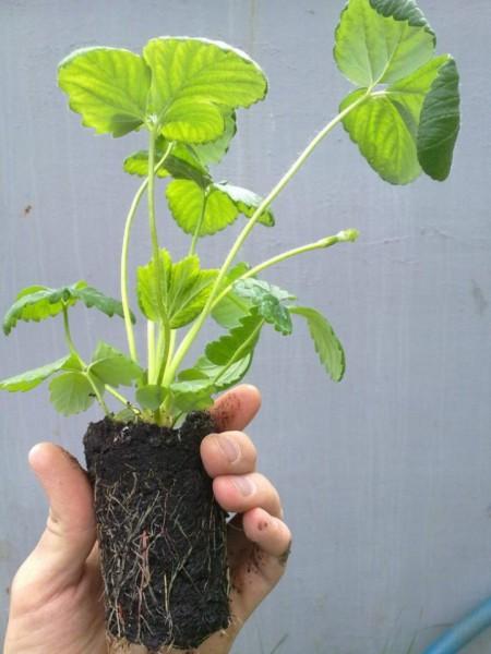 Здоровое растение садовой земляники