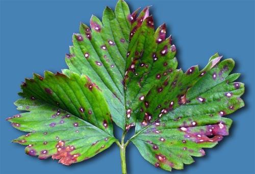 Лист растения, пораженного белой пятнистостью