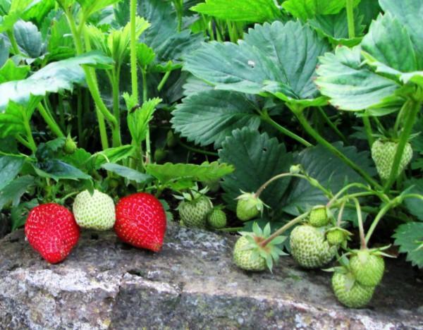 Здоровые растения садовой земляники