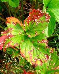 Растения, пораженные бурой пятнистостью