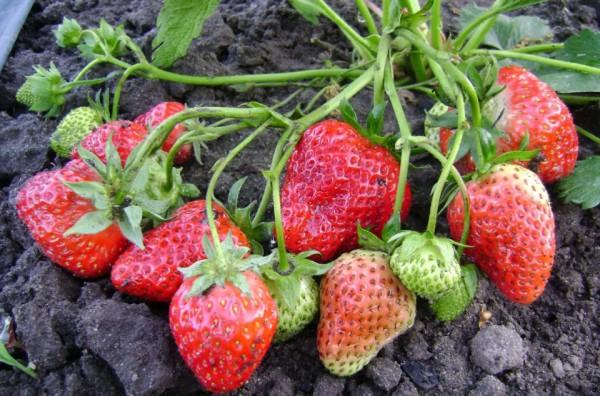 Здоровые ягоды садовой земляники