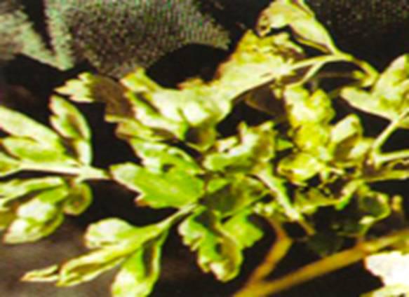 Пероноспороз, или ложная мучнистая роса петрушки