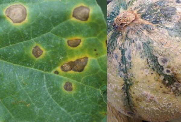 Антракноз на листьях и ягодах дыни