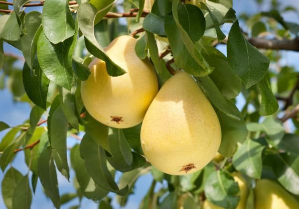 Здоровые плоды груши