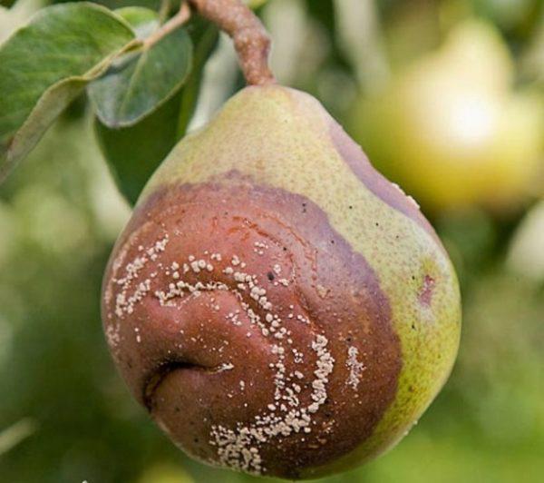 Монилиоз на плоде груши