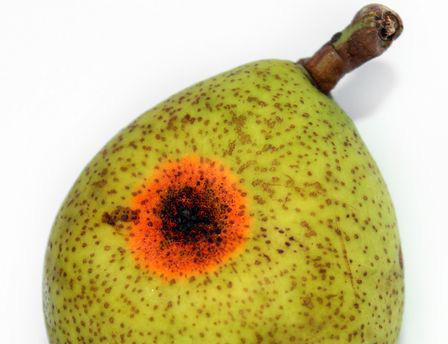 Ржавчина груши на плоде