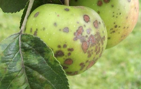 Бурая пятнистость яблони на плоде