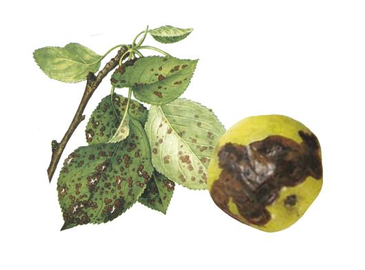 Альтернариоз яблони на листьях и плоде