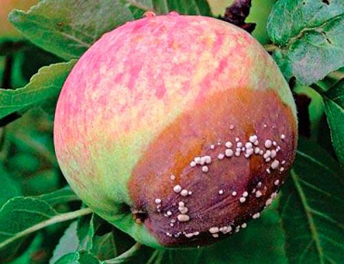 Монилиоз яблони в начальной стадии