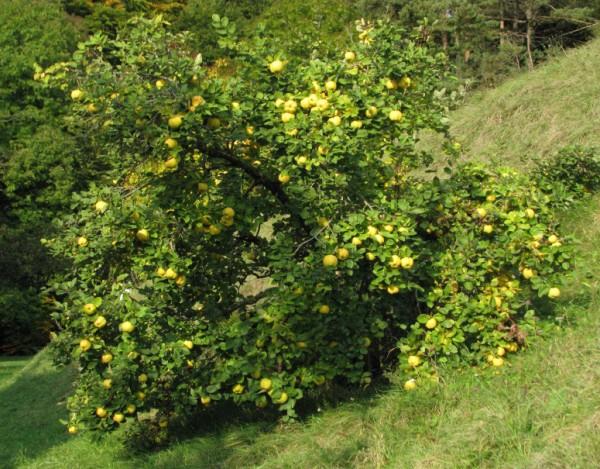 Здоровое растение айвы (дерево)