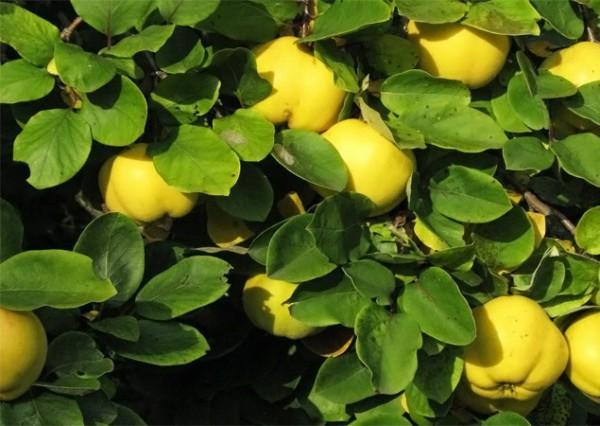 Здоровое растение айвы (плоды, листья)