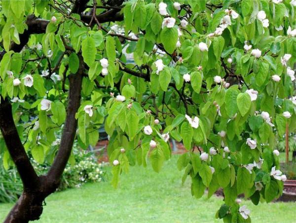 Здоровое растение айвы (листья, цветы)