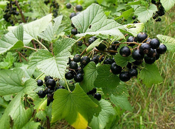 Здоровое растение черной смородины
