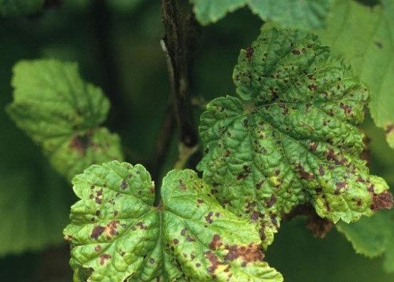 Антракноз на листьях смородины