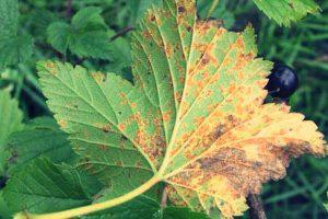 Бокальчатая ржавчина на листе смородины