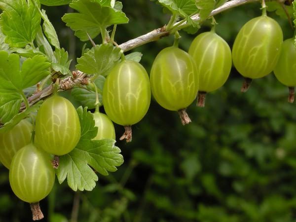 Здоровые плоды крыжовника