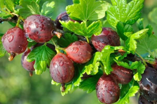 Здоровые плоды поспевшего крыжовника