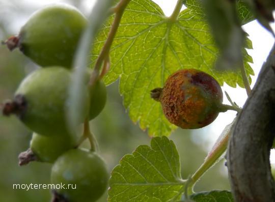 Ржавчина на плодах крыжовника