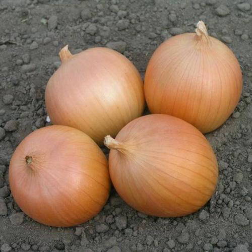 Здоровые луковицы