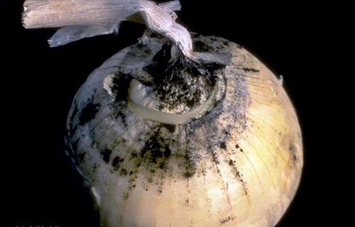 Луковицы, пораженные черной гнилью