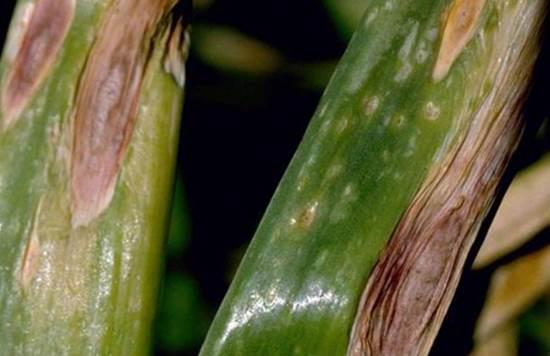 Перья лука, пораженные альтернариозом