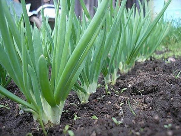 Здоровая зелень лука
