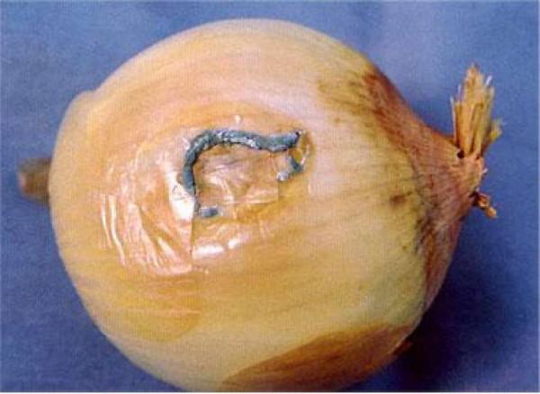 Пенициллёз головок лука