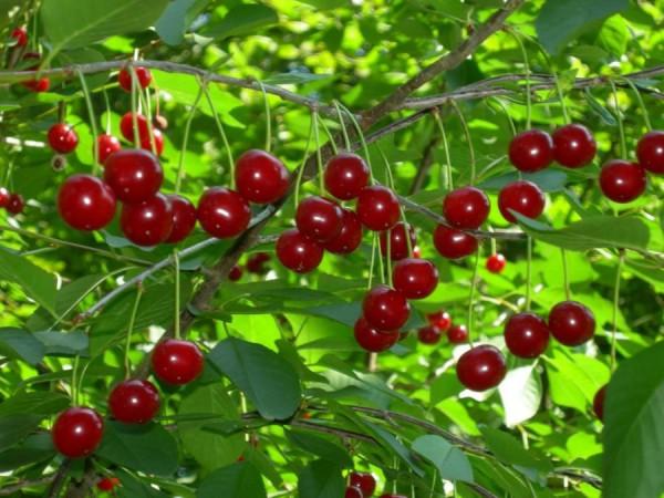 Здоровое растение вишни