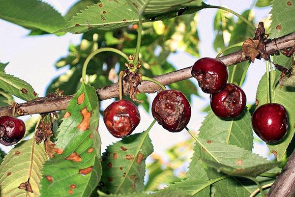 Монилиоз, или монилиальный ожог вишни