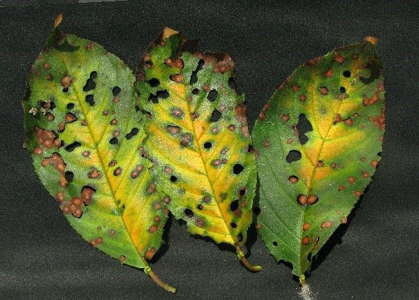 Клястероспориоз на листьях вишни