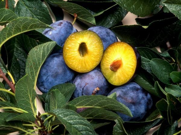 Здоровое растение и плоды сливы