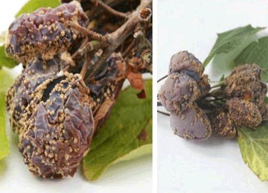 Монилиоз косточковых (плодовая гниль)