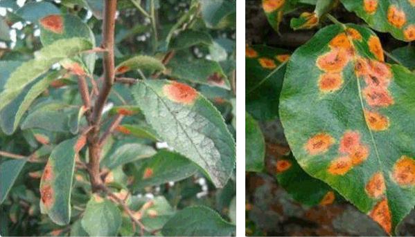Ржавчина на листьях сливы
