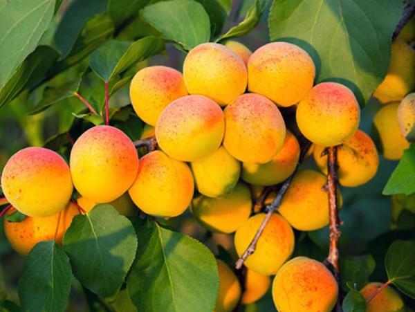Здоровое растение и плоды абрикоса