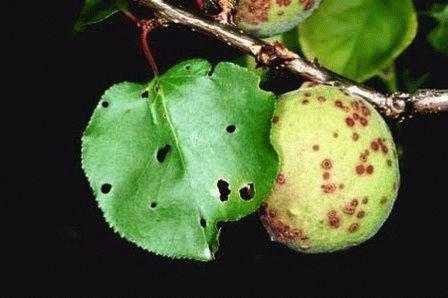 Клястероспориоз (дырчатая пятнистость) абрикоса