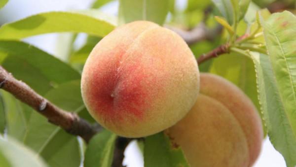 Здоровое растение и плоды персика