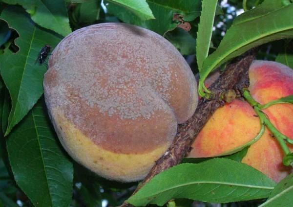 Монилиоз косточковых (серая плодовая гниль) на персике