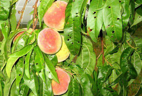 Клястероспориоз на листьях персика
