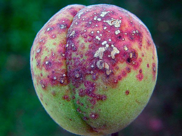 Клястероспориоз на плодах персика
