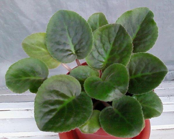 Здоровое растение сенполии (фиалка)