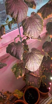 Фитоспорин РеаниматоР приостановил развитие желтых пятен на листьях огурца