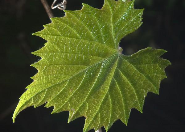 Здоровый лист винограда