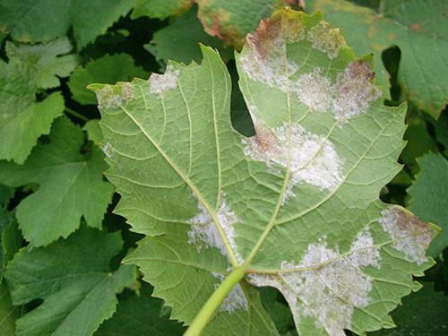 Лист винограда пораженный ложной мучнистой росой