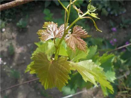 Здоровый побег винограда