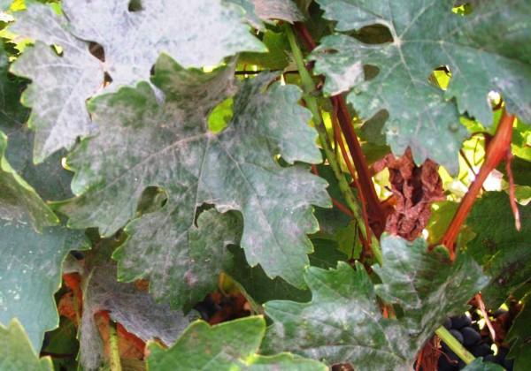 Листья винограда пораженные мучнистой росой
