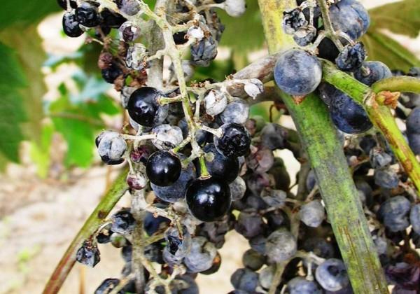 Гроздь винограда пораженная мучнистой росой